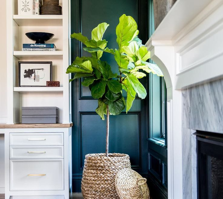 Captivating How To Decorate A Corner In A Living Room Of Fiddle Leaf Fig Wicker Pot