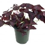 Beautiful Oxalis Indoor Plant Of Conceptreview Rare purple Rain Shamrock