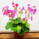 Charming Oxalis Indoor Plant Of Bowiei Potted Plants Plants Green Nature Dahlias