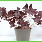 Cool Oxalis Indoor Plant Of Dr Techplant Saving