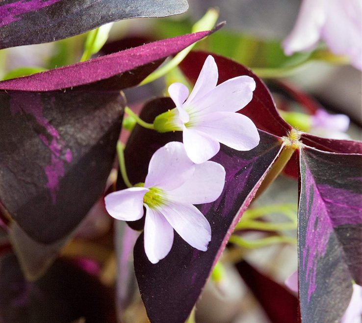 Endearing Oxalis Indoor Plant Of Conceptreview Triangularis Bulbs Purple Shamrocks