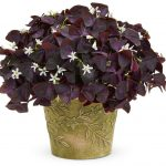Exquisite Oxalis Indoor Plant Of Oxalis Charmed Winej Part Shade To Shade Season Spring
