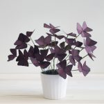Oxalis Indoor Plant Of Corrie Beth Hogg Paper Plant Oxalis